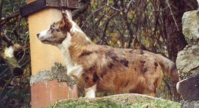Merle And Brindle In The Same Dog Natural History
